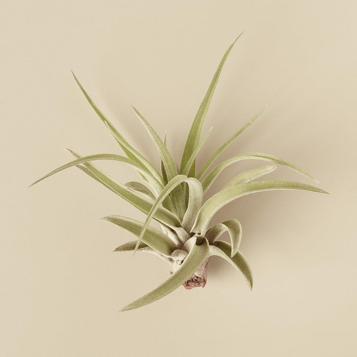 Tillandsia Air Plant Veluntina