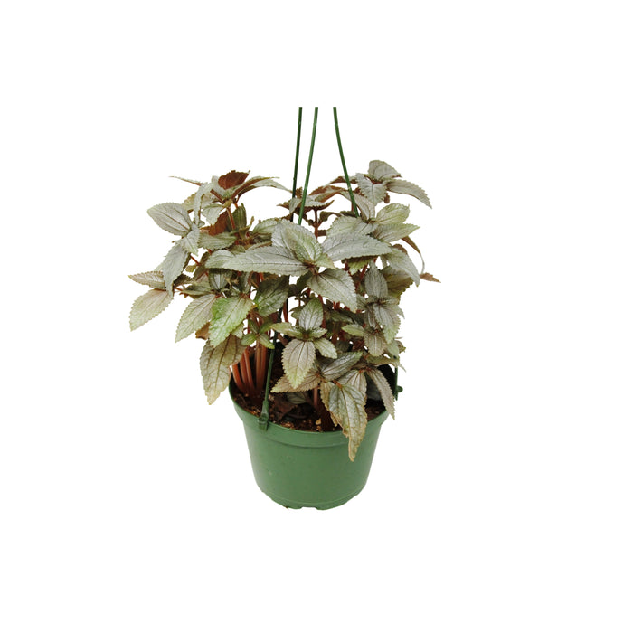 Pilea Ellen - House Plant Shop