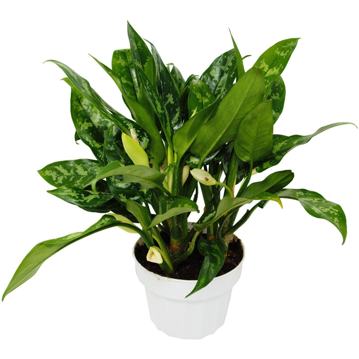"6"" Potted Chinese Evergreen Maria"