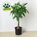 "10"" potted Money tree plant"