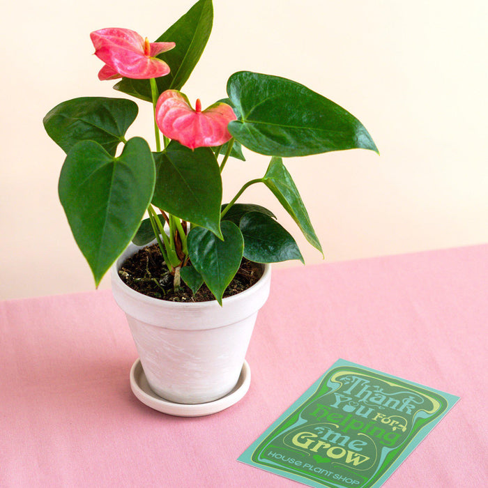 Pre-Potted Anthurium 'Pink' - White Terra Cotta