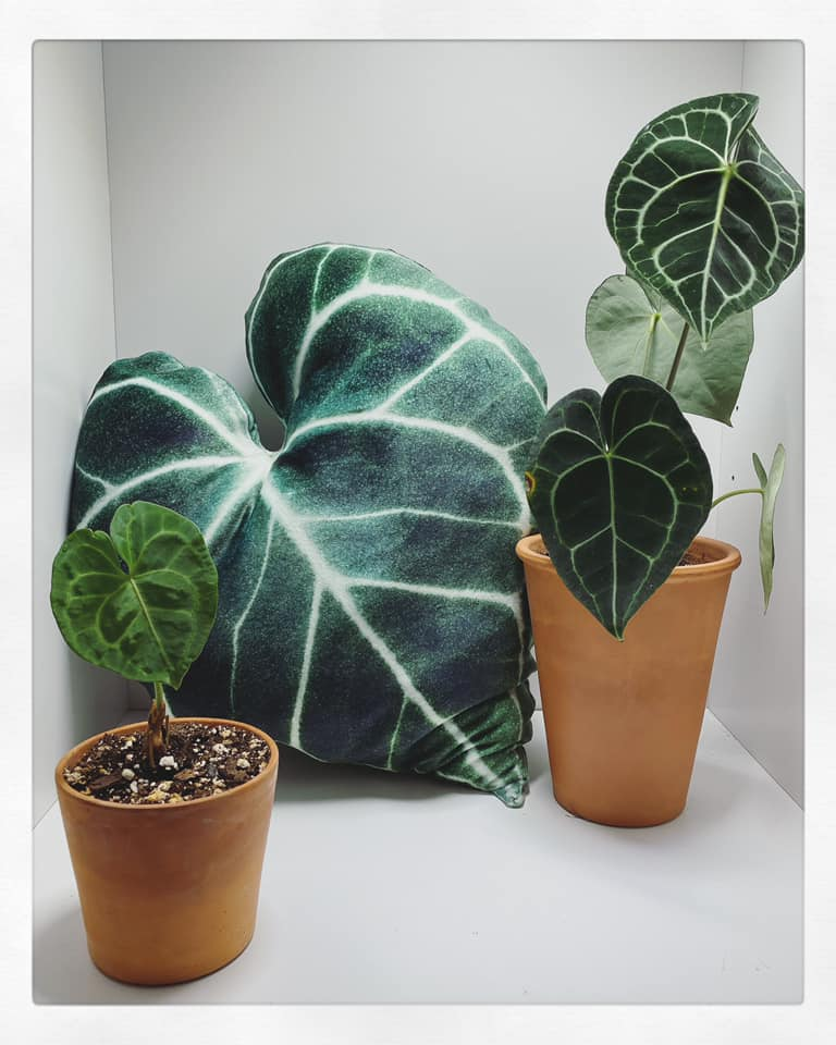 BeLEAF Cushion PREorder - Anthurium Clarinervium
