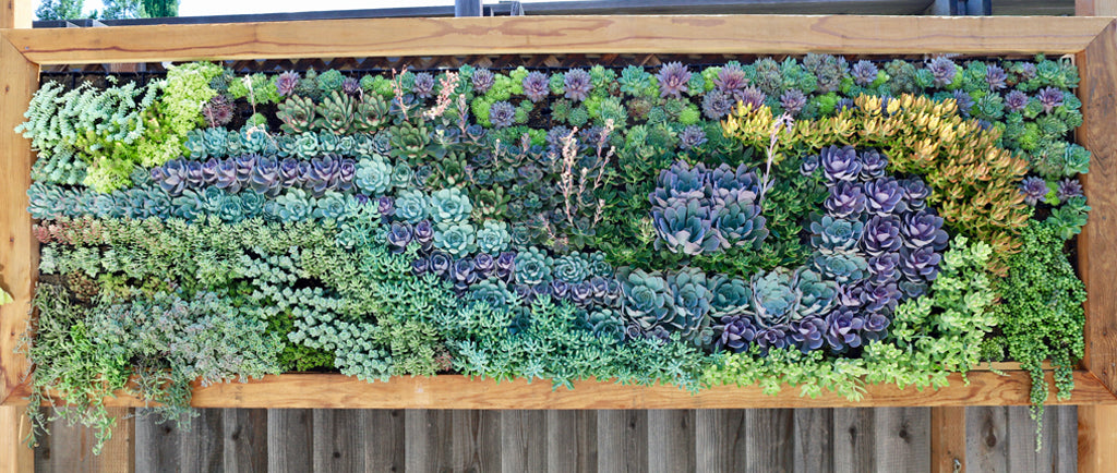 Custom Living Wall Succulent Swirl Planted Places