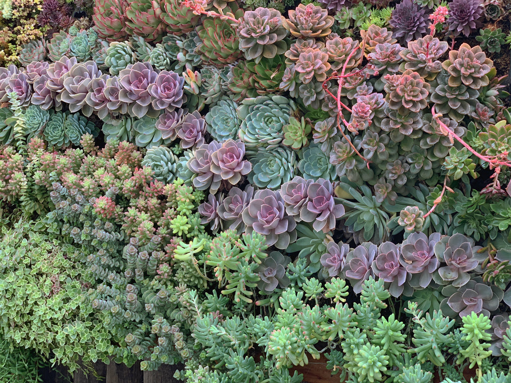Succulent Living Wall showing winter colors