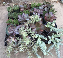 Vertical Garden kit with brown and silver succulents and wall planter