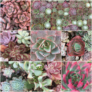 Succulent Plants - Splash Of Pink Signature Collection