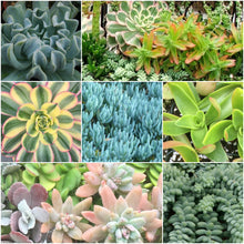 Succulent Plants - Confetti Color Collection