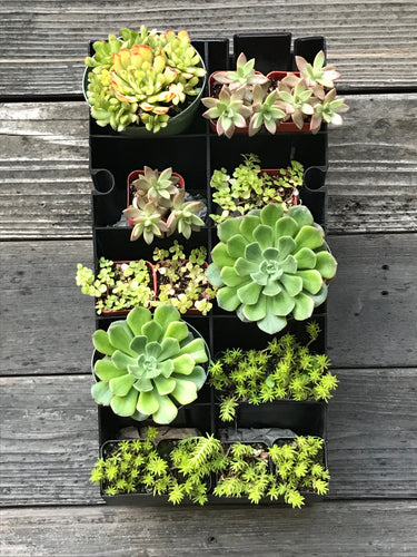 Succulent Planter Kit hanging on wall - Golden Rays Diagonal Design