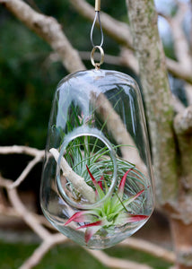 Igloo Hanging Terrarium Succulent Bundle