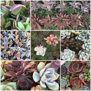 Succulent plant examples - Burnt Coral Signature Collection