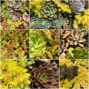 Succulent Plants - Golden Rays Signature Collection