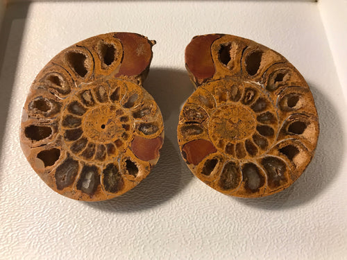 Ammonite Pair, Morocco, Medium Size