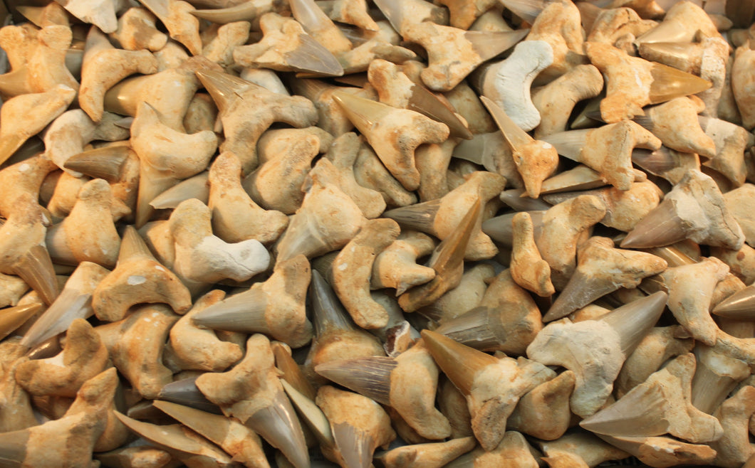 Bags of Shark Teeth