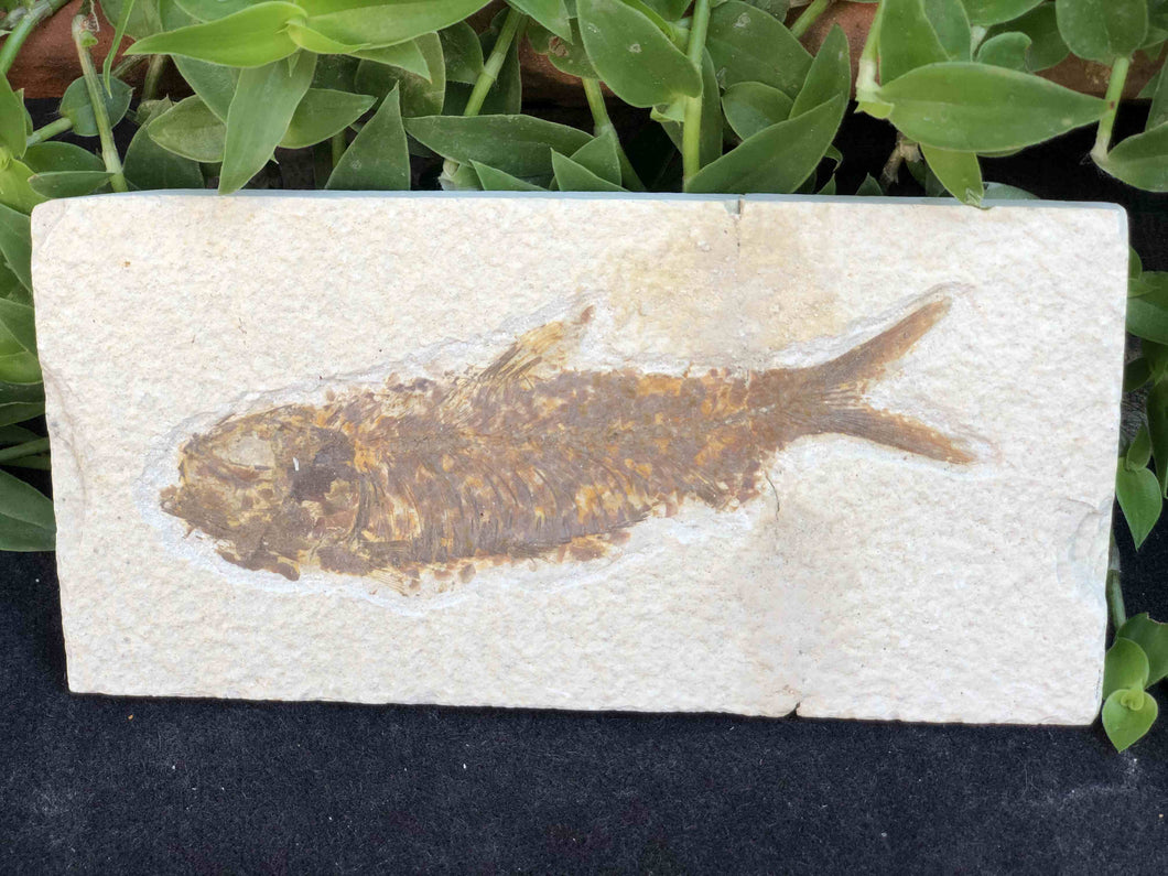 Green River Fish Fossil