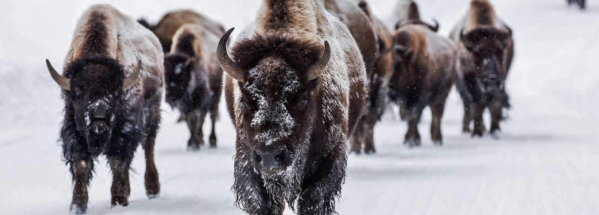 Why Bison Fur Makes the Best Fur Coat