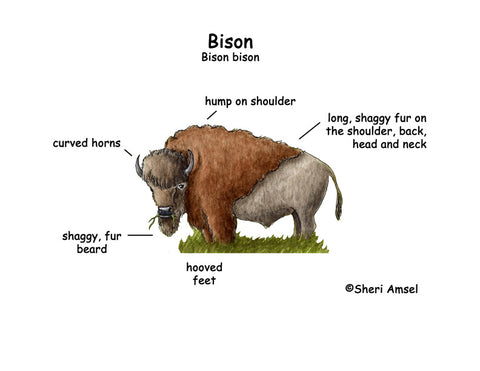 Ten Things You didn't Know About Bison