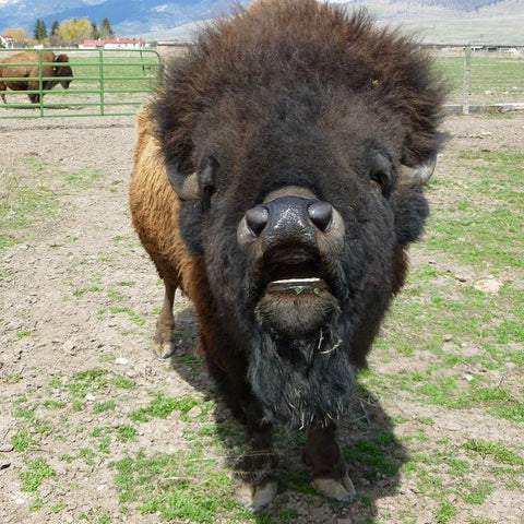 One of the elders of the bison herd yells at a camera man.