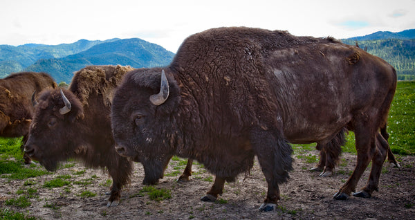 Two members of the herd at Bitterroot Bison graze, showing off their coats to the camera.
