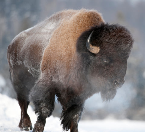 An American Bison Standing in the Snow in Yellowstone National Park