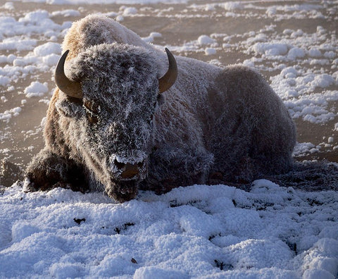 A snow covered bison laying on the ground, trying to conserve energy in Winter.