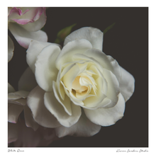 white rose blooming