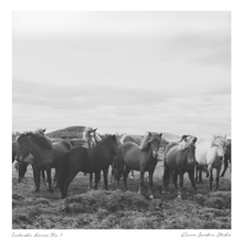 group of wild horses in iceland