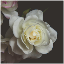 Blooming White Rose Black Background
