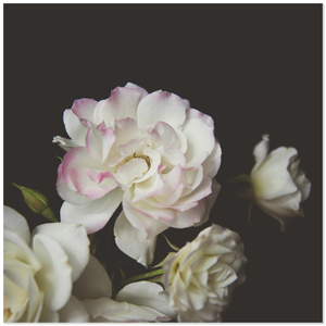 White Roses with Pink Tips Black Background