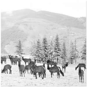 Elk Herd in Snow Mountain Backdrop Black and White Photo