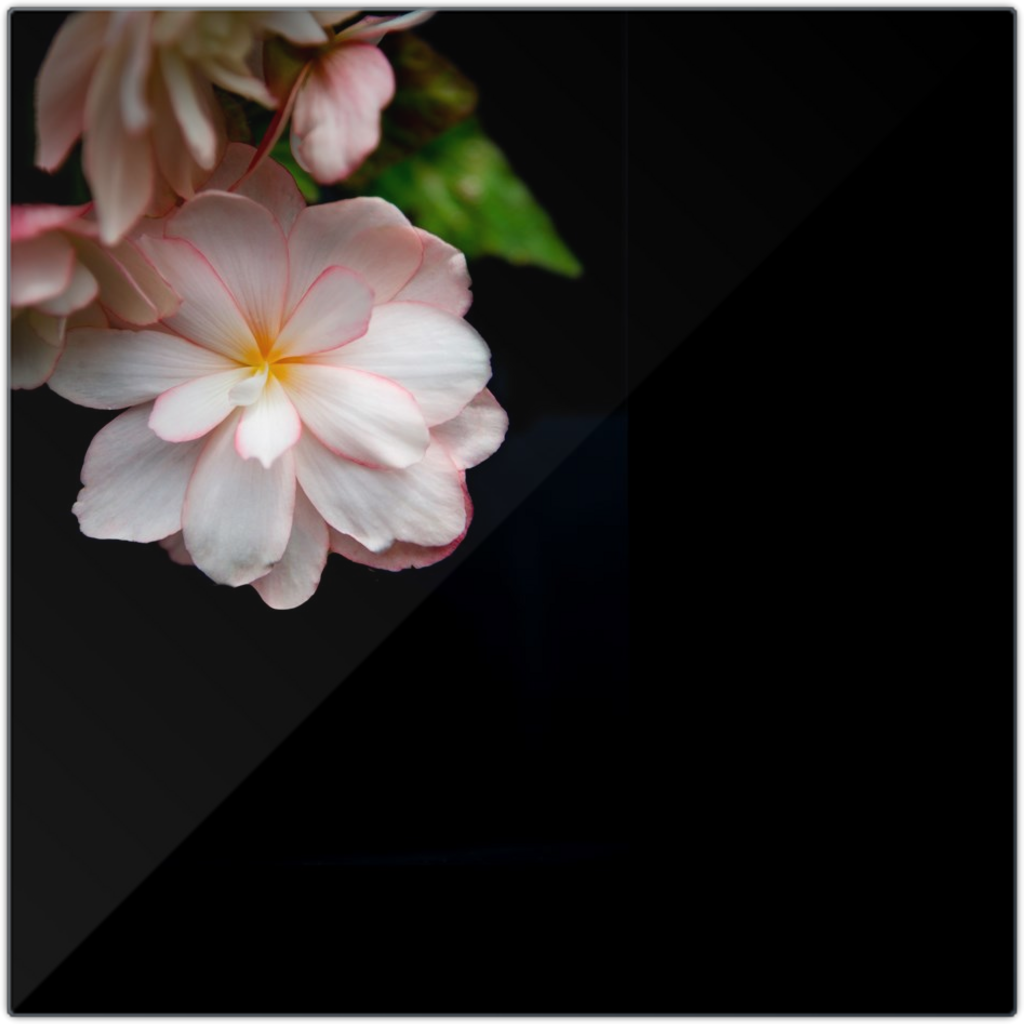 Peach Begonia on Black | 12x12 Metal Print