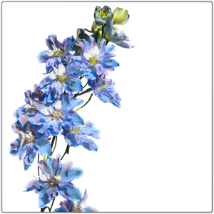 Tie-Dyed Blue Belladonna Delphinium | 12x12 Metal Prints