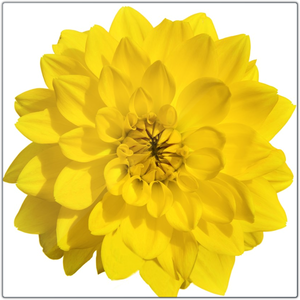 Giant Yellow Dahlia | 12x12 Metal Print