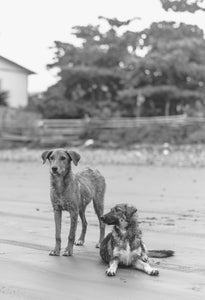 Two Stray Dogs on the Beach in Ecuador