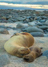 Galapagos Sea Lion Mother and Baby