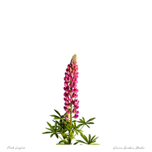 Pink and Purple Lupines | Set of 2 | Digital Downloads