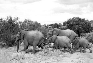 Family of South African Elephants
