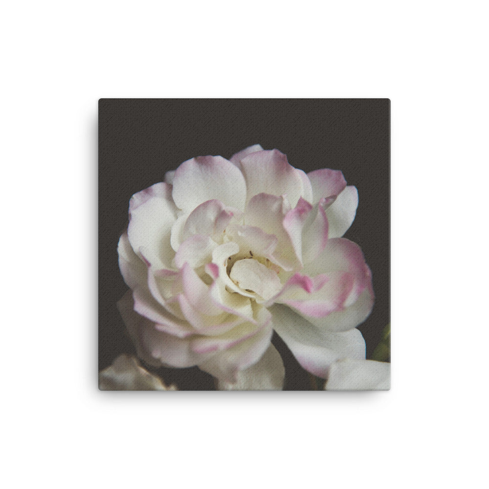 White Rose with Pink Tips Black Background
