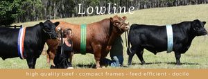 Benefits of becoming a member of the Australian Lowline Cattle Association