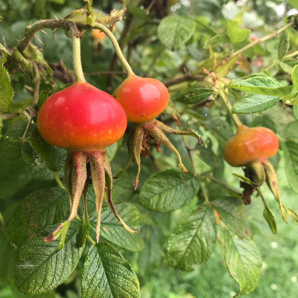 The Many Benefits of Rose Hips and How I Use Them to Make Soap