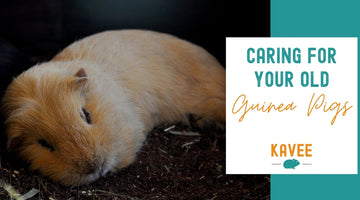 How to care for older guinea pigs?