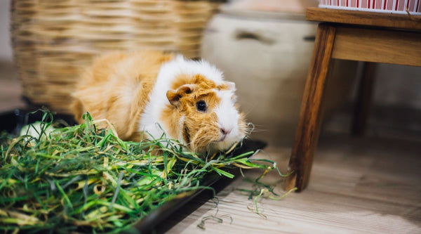 Guinea pig sat in a box of fresh grass while spending time outside of a cage
