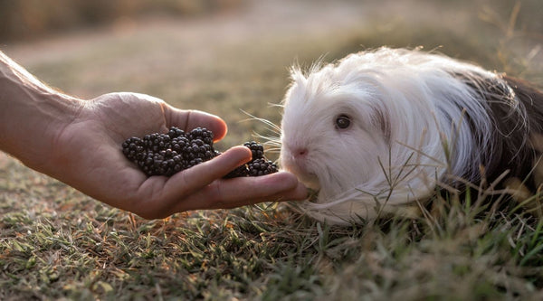 bond with your guinea pig by hand feeding them