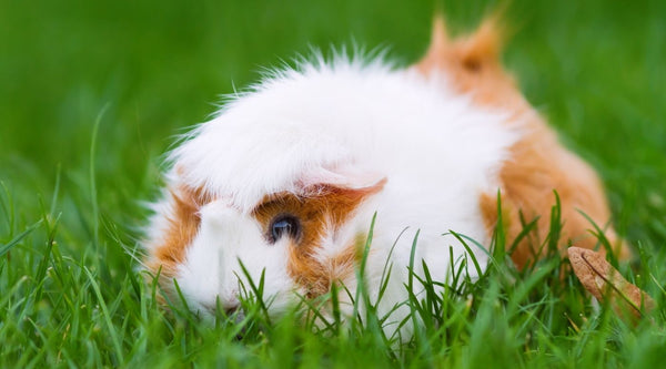 take your guinea pig outside for floor time