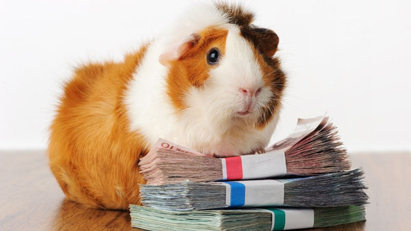 guinea pig sitting next to money to pay for expenses