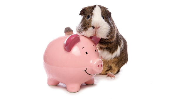guinea pig standing next to pink piggy bank with money