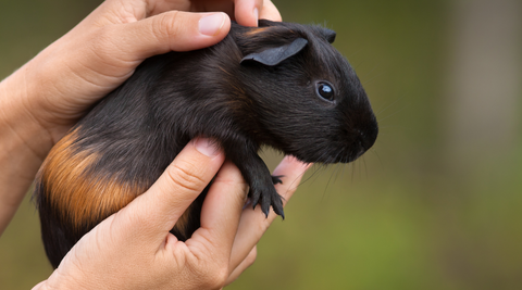 how to help a bloated guinea pig massage