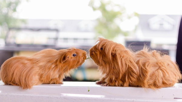 two ginger guinea pigs fighting over a piece of hay