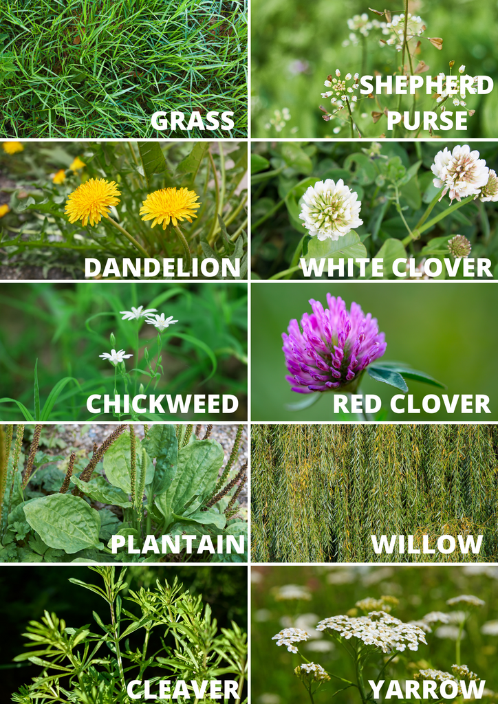 foraging for guinea pigs rabbits list of plants wild herbs