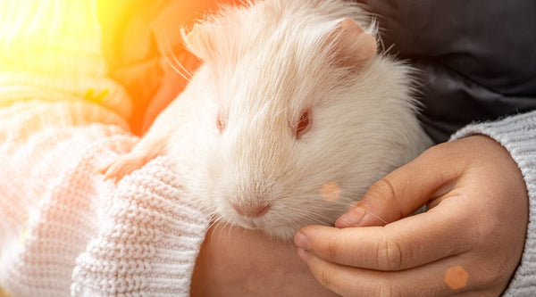 be gentle with your guinea pigs when bonding with them