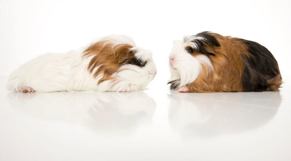 wrong pairing can cause fighting in guinea pigs